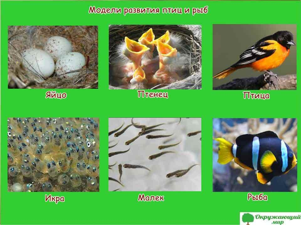 Модель развития птиц и рыб