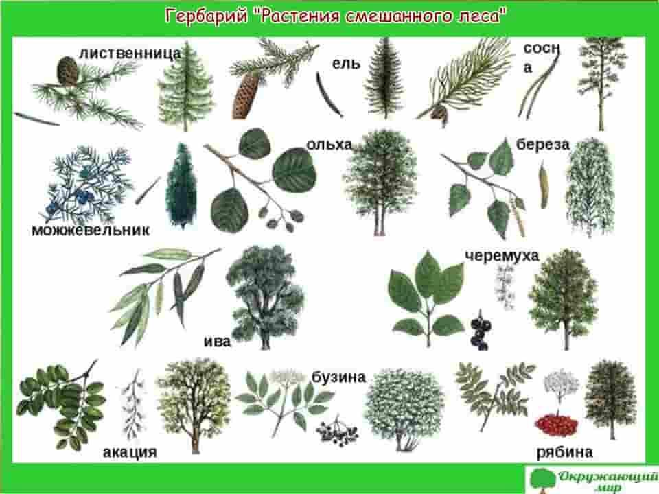Гербарий растений смешанного леса
