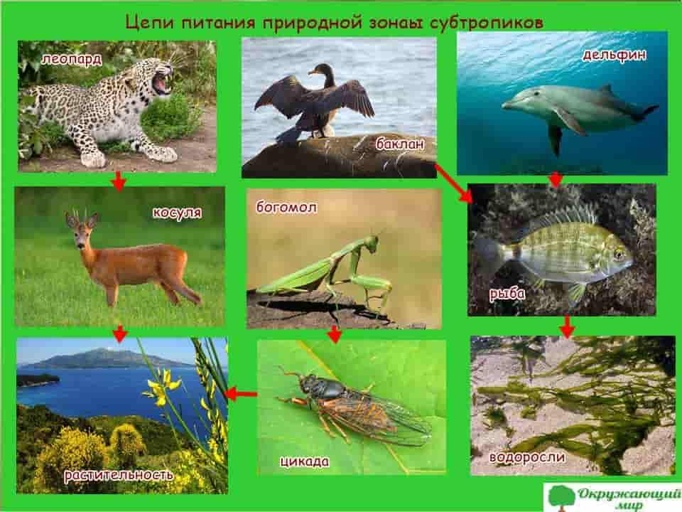 Модель природной цепи питания субтропиков