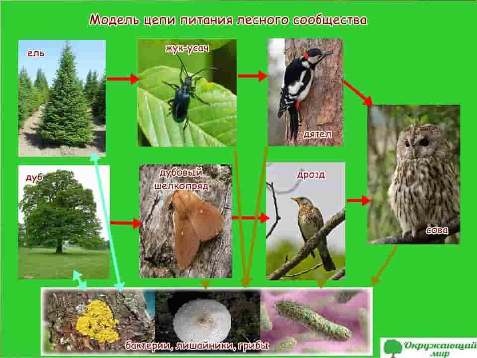 Модель цепи питания лесного сообщества
