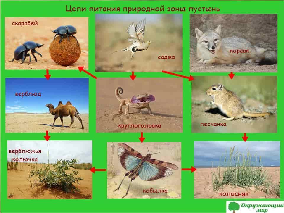 Модель цепи питания пустыни