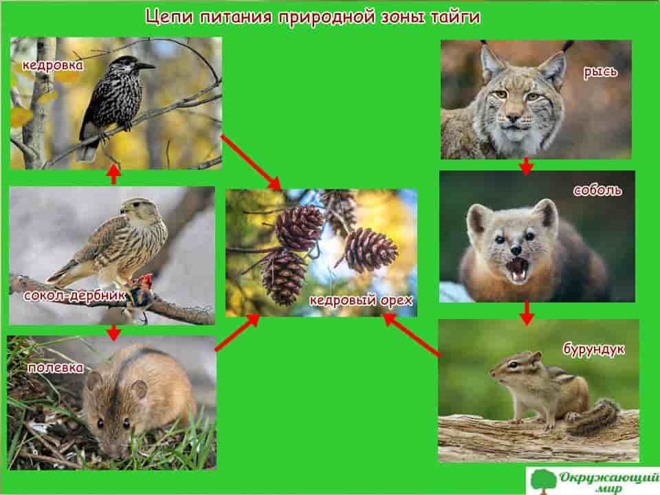 Модель цепи питания тайги