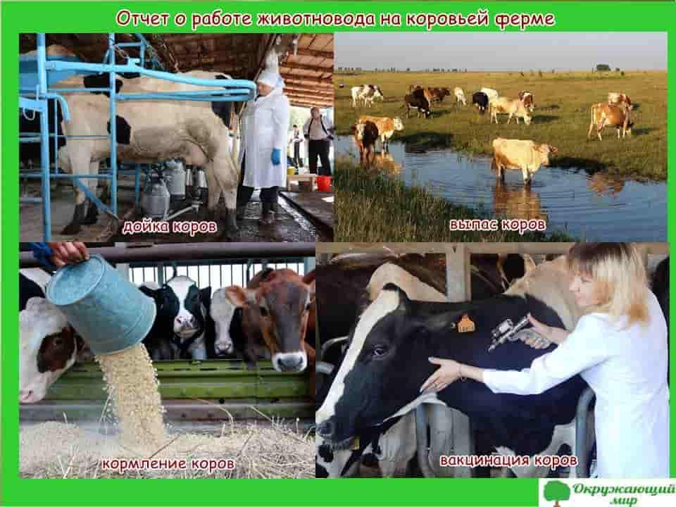 Отчет о работе животновода на коровьей ферме