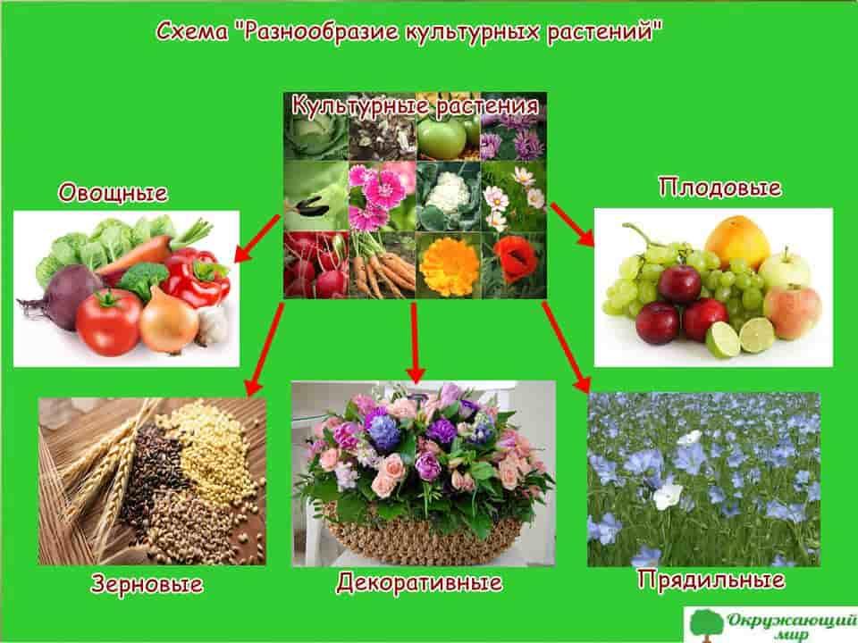 """Схема """"Разнообразие культурных растений"""""""