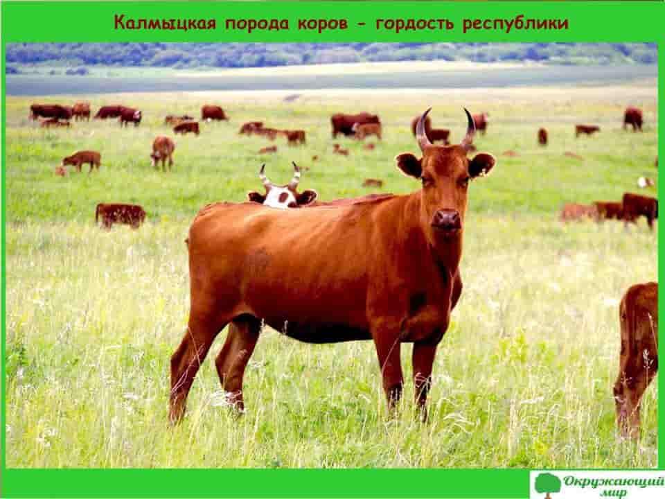 Калмыцкая порода коров - гордость республики