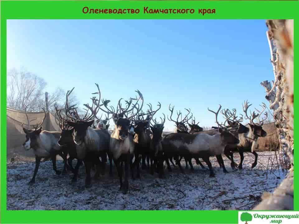 Оленеводство Камчатского края
