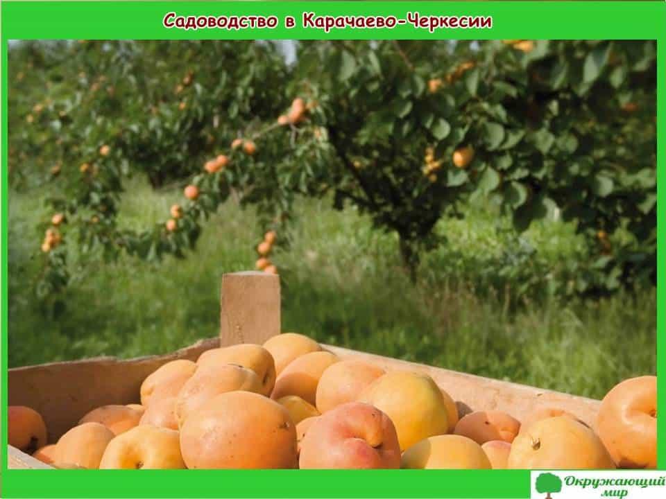 Садоводство в Карачаево-Черкесии