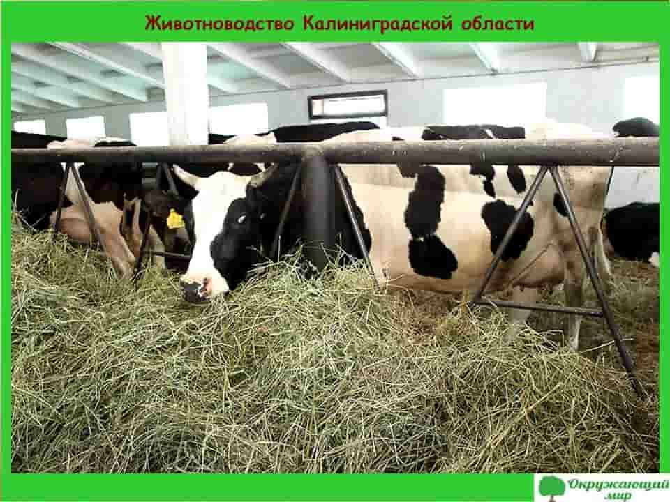 Животноводство Калининградской области