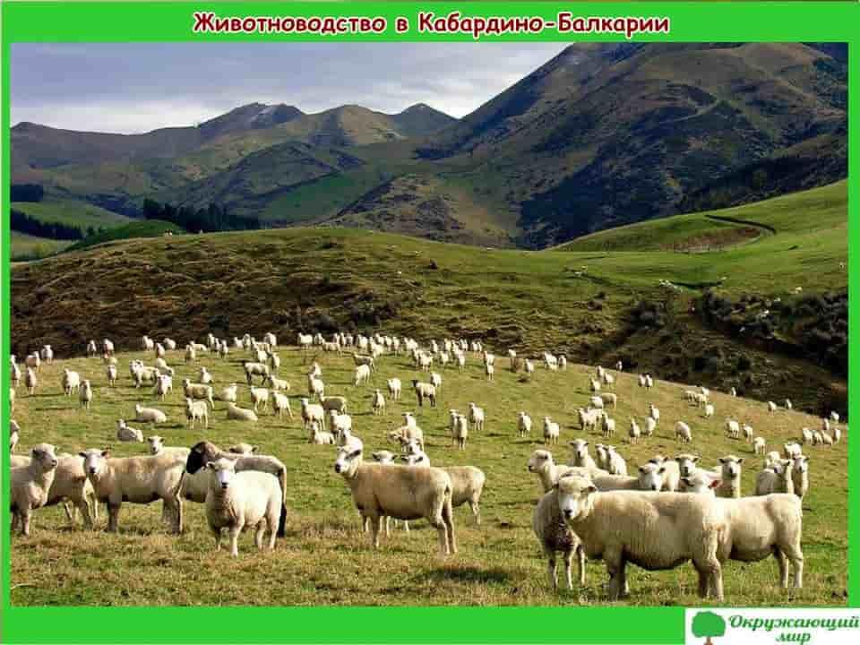Животноводство в Кабардино-Балкарии