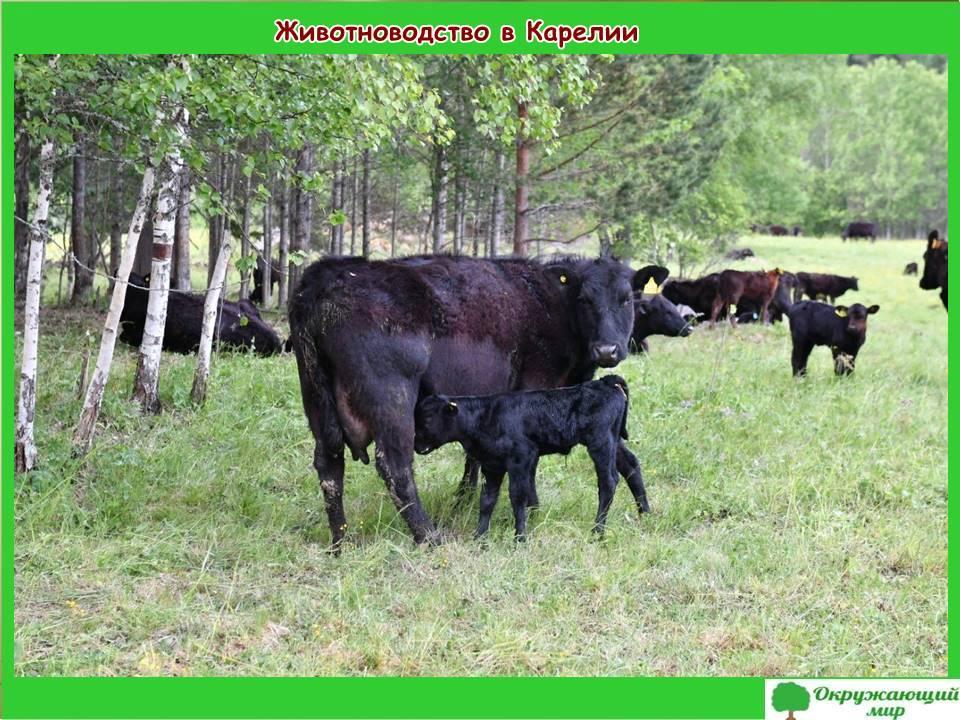Животноводство в Карелии