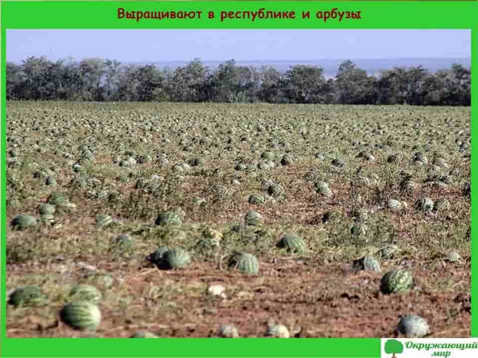 Выращивают в республике и арбузы