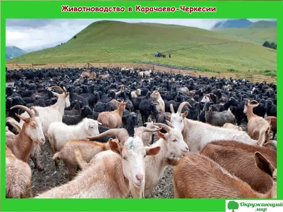 Животноводство в Карачаево-Черкесии