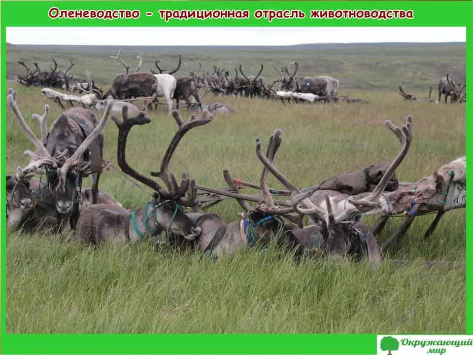 Оленеводство-традиционная отрасль животноводства