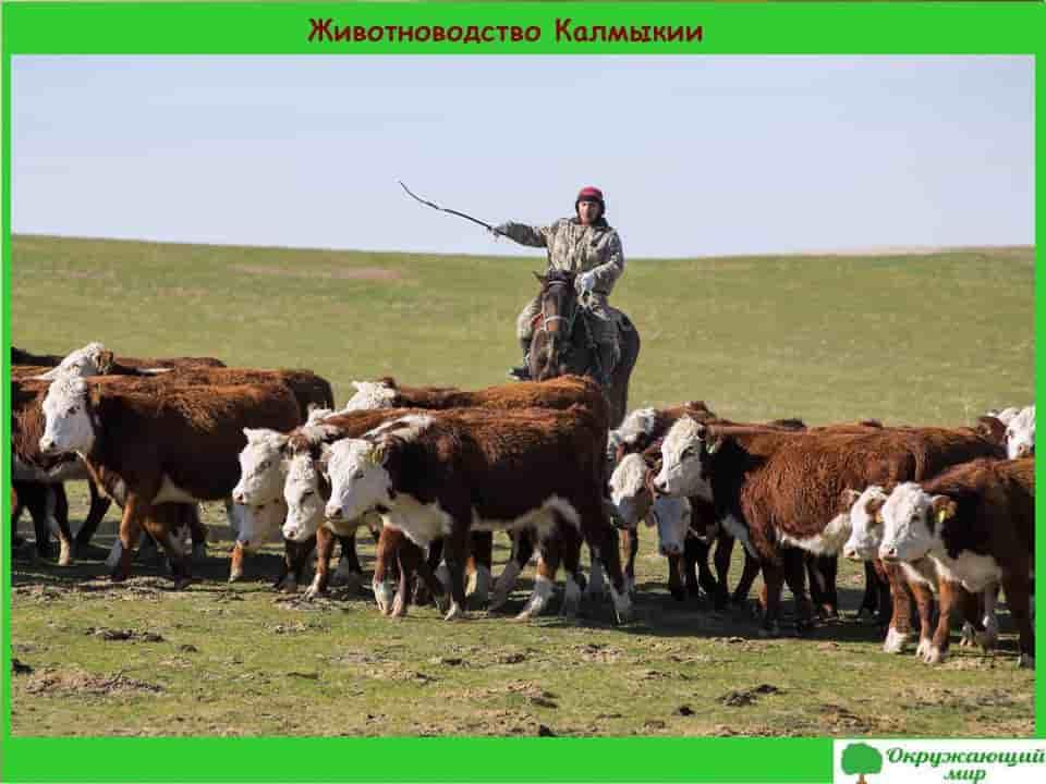 Животноводство в Калмыкии