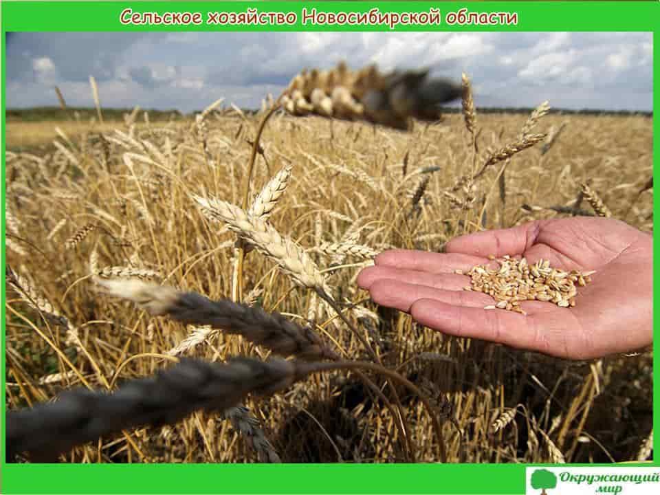 Сельское хозяйство Новосибирской области