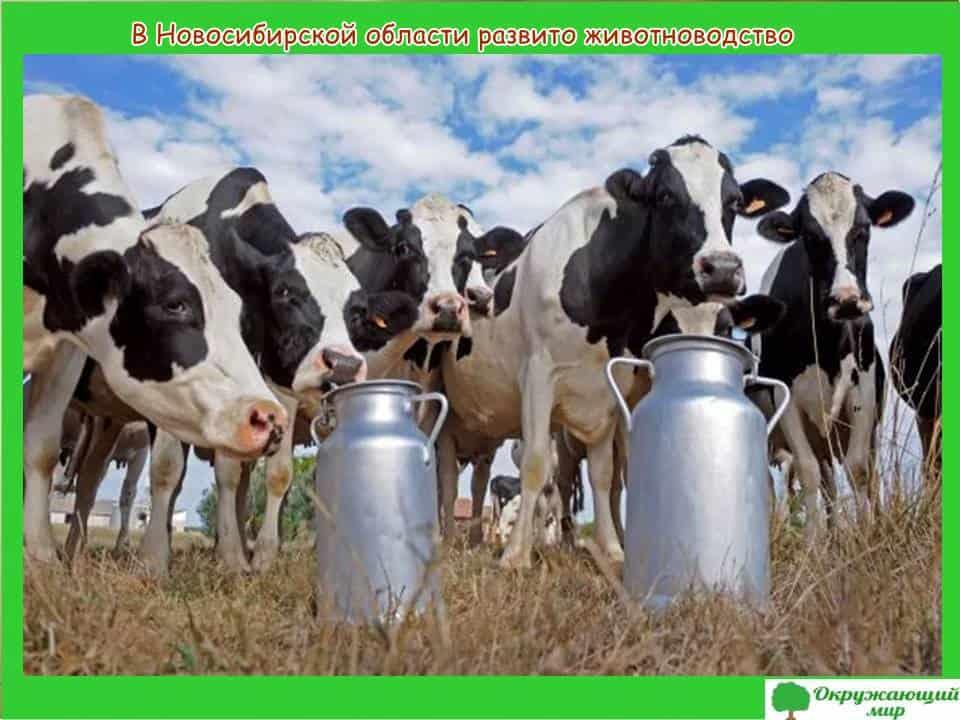В Новосибирской области развито животноводство