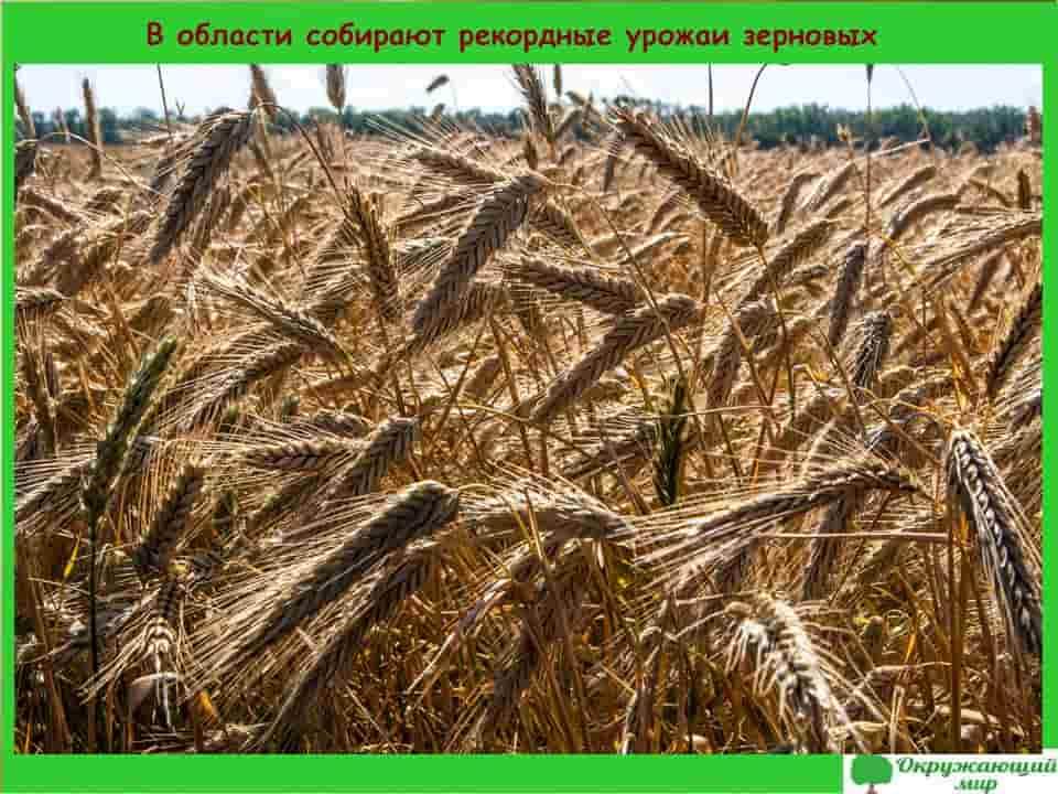 В области собирают рекордные урожаи зерновых