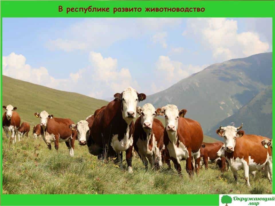 В республике развито животноводство