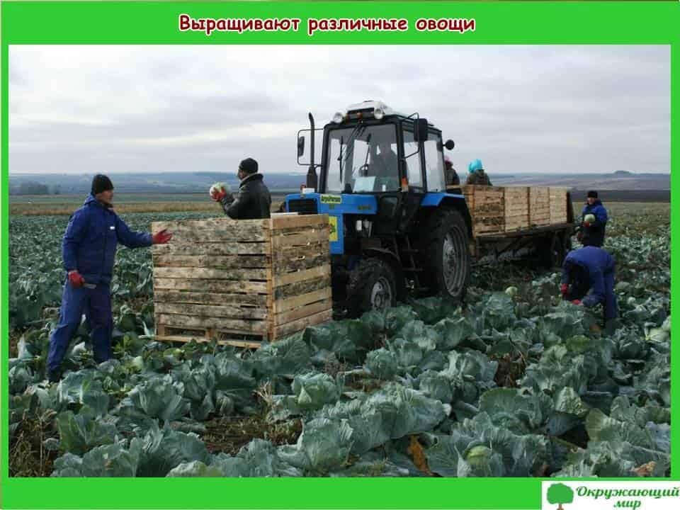 Выращивают различные овощи
