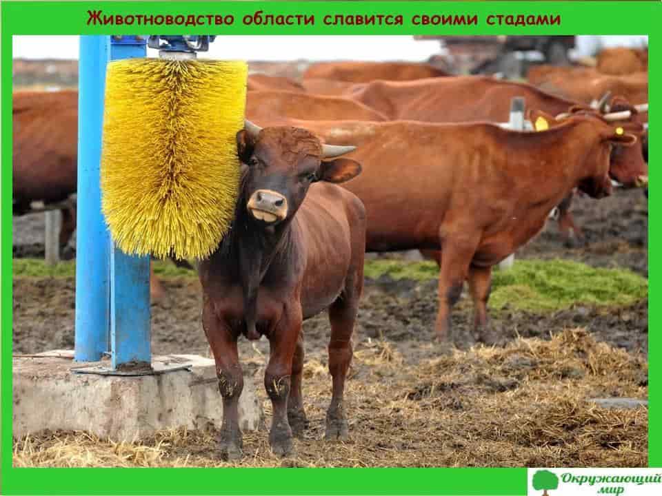Животноводство области славится своими стадами