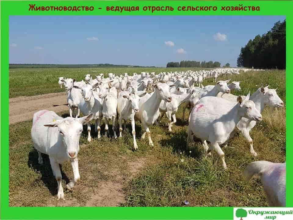 Животноводство-ведущая отрасль сельского хозяйства