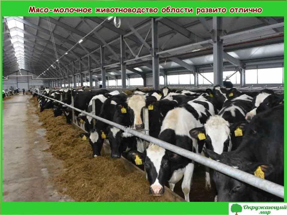Мясо-молочное животноводство развито отлично
