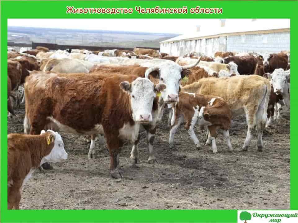 Животноводство Челябинской области