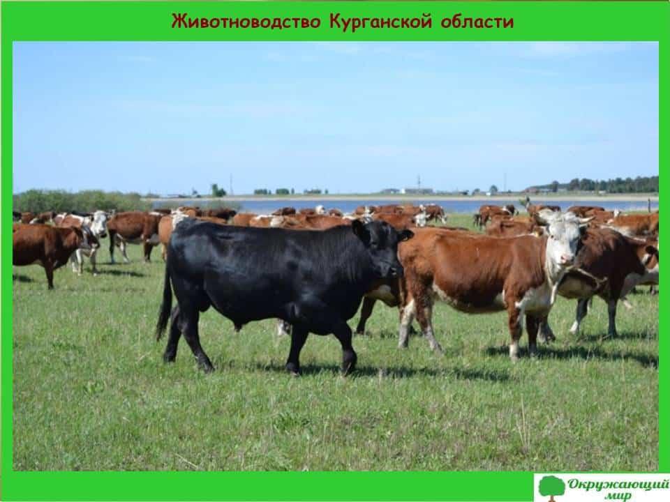Животноводство Курганской области