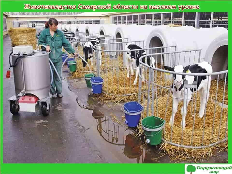 Животноводство Самарской области на высоком уровне