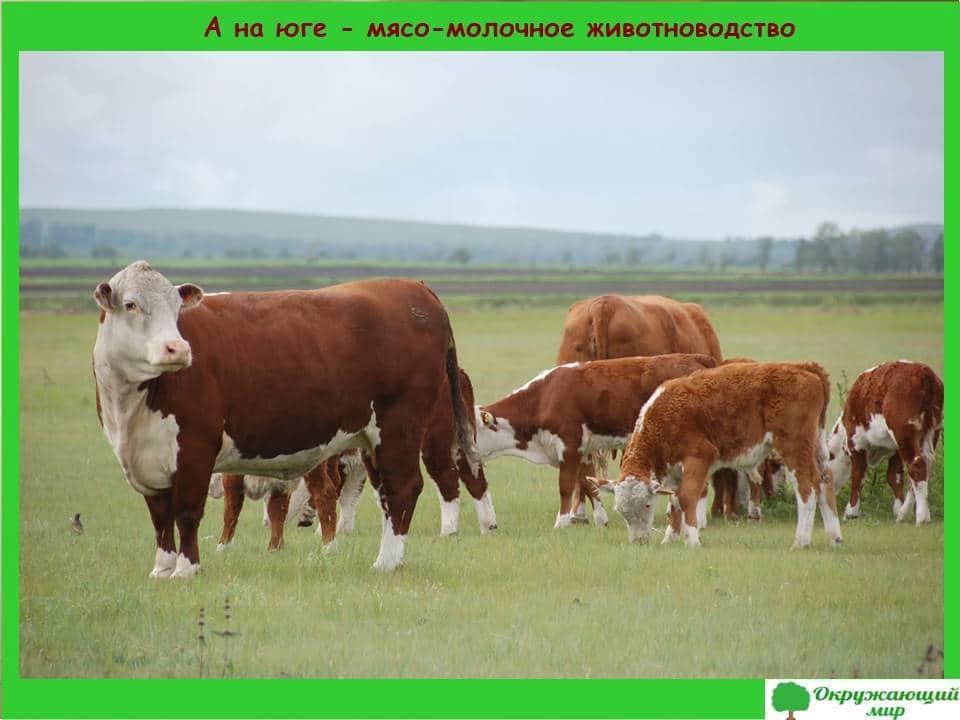 А на юге мясо-молочное животноводство