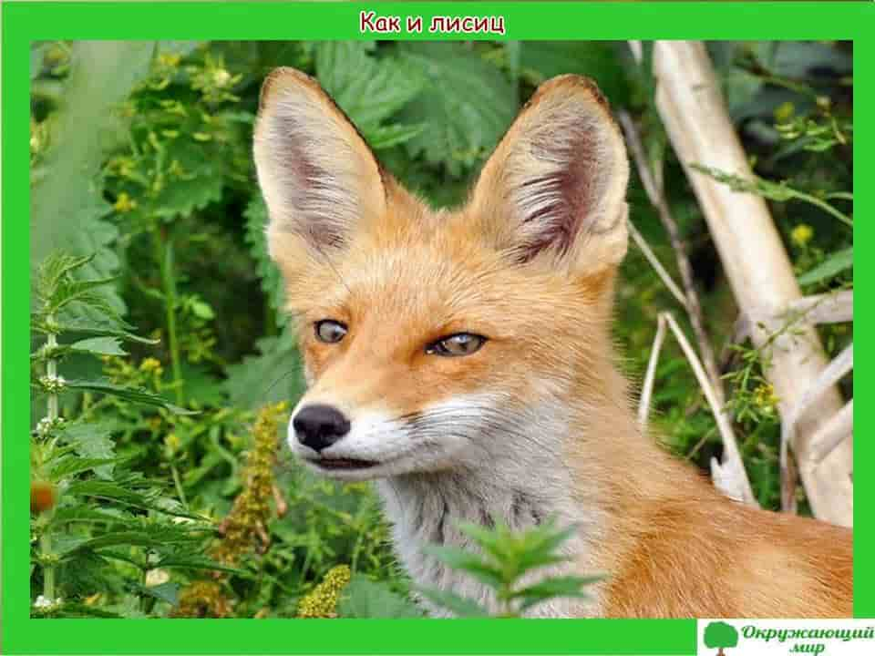 Лисицы Татарстана