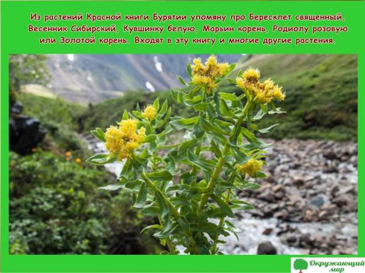 Растения Бурятии