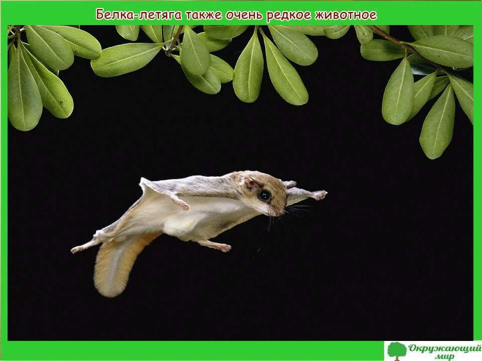 Редкое животное белка-летяга