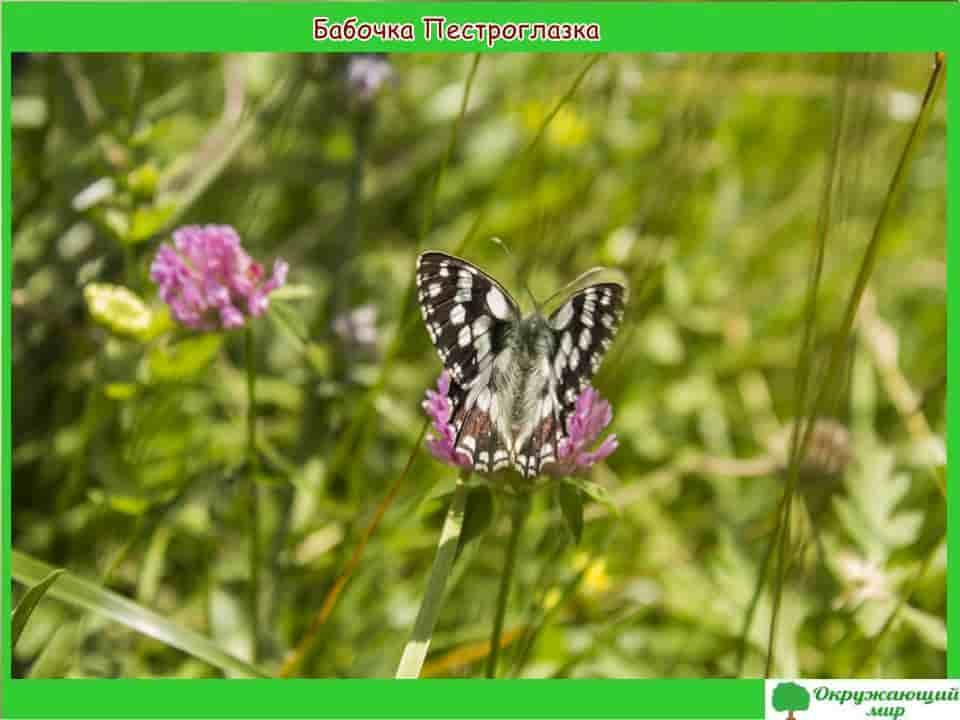 Бабочки Дагестана