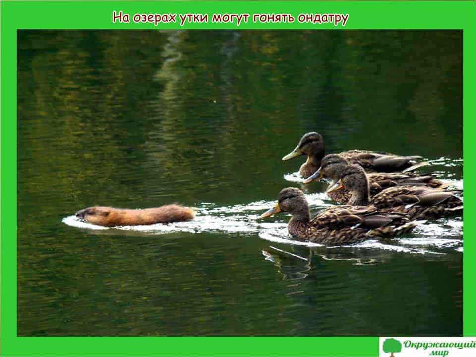 На озере утки охраняют ондатру