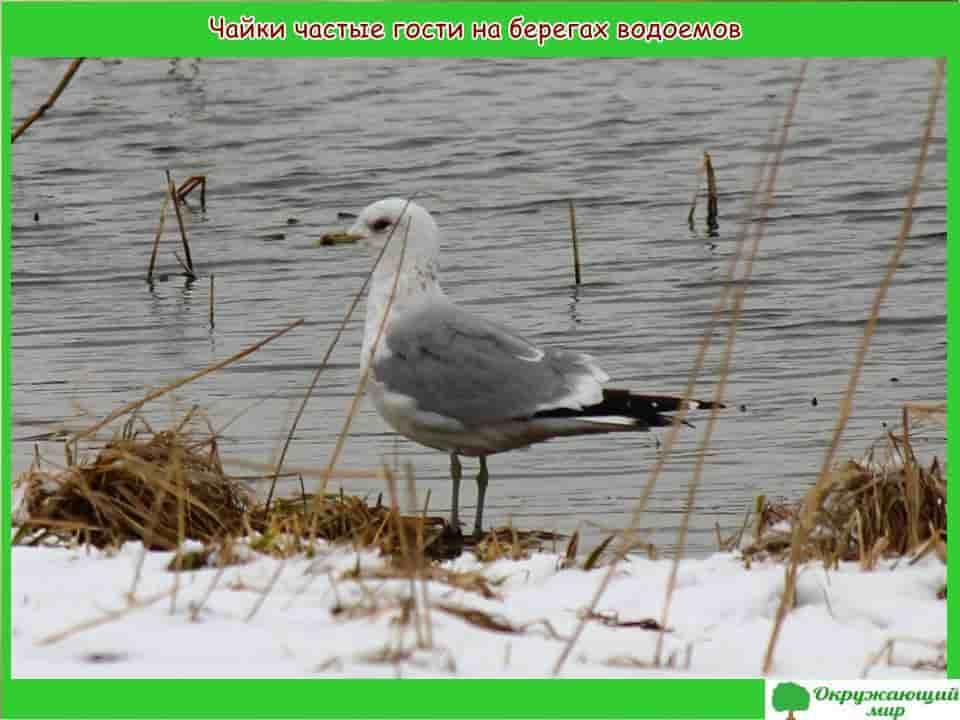 Чайки частые гости на берегах водоемов