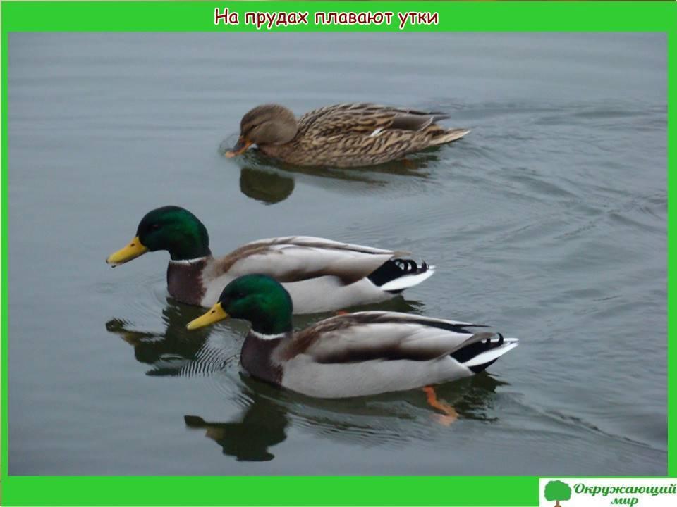 На прудах плавают утки
