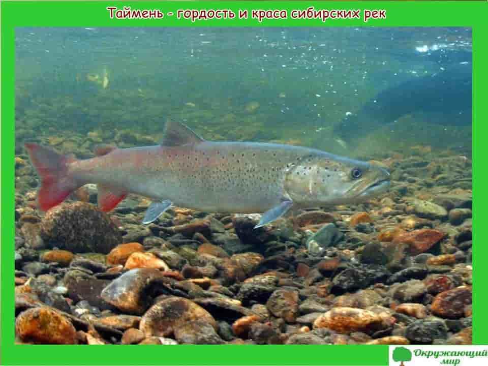 Рыбы Новосибирска