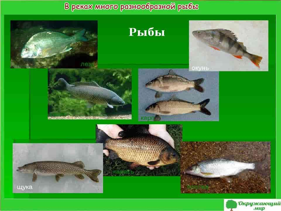Рыба Самарской области