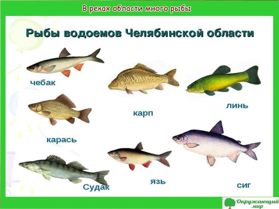 Рыбы водоемов Челябинской области