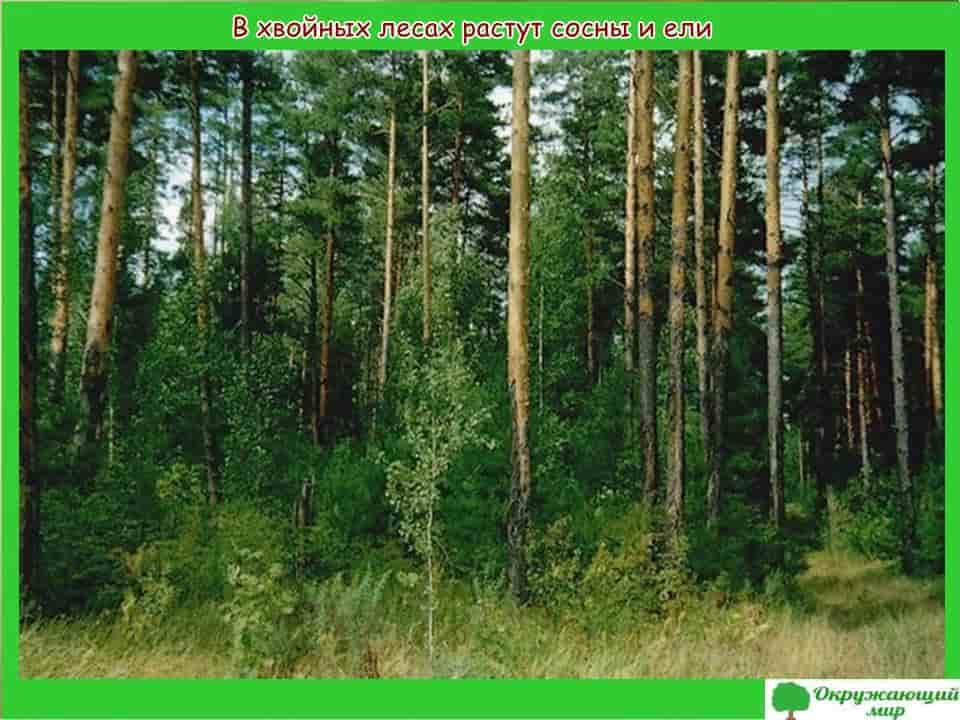 Хвойные леса Мордовии
