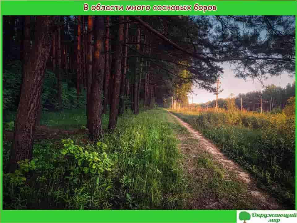 Сосновые боры Московской области