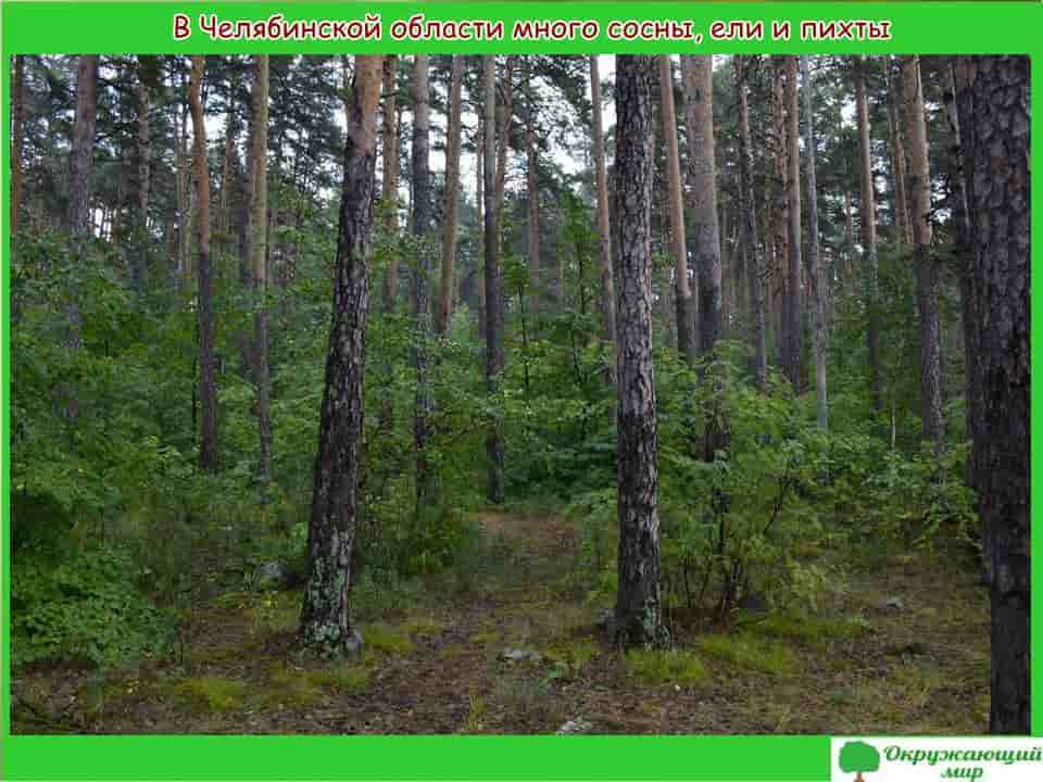 В Челябинской области много сосны, ели и пихты