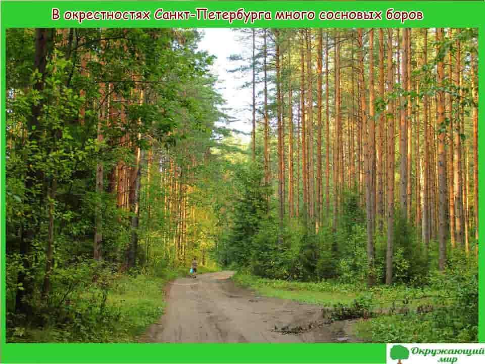 В окрестностях Санкт-Петербурга много сосновых боров