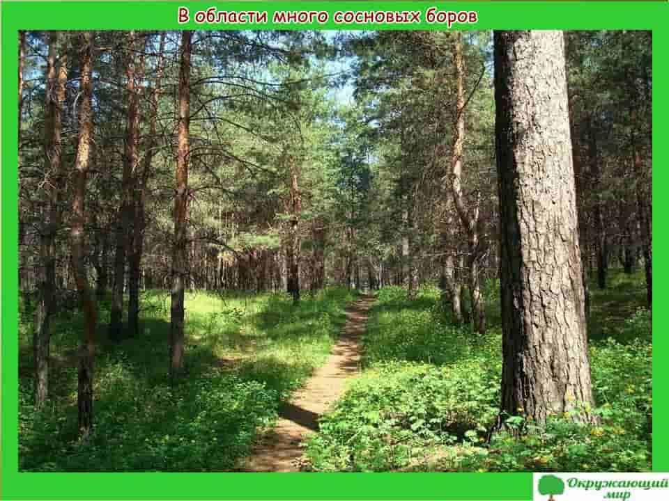 В Самарской области много сосновых боров