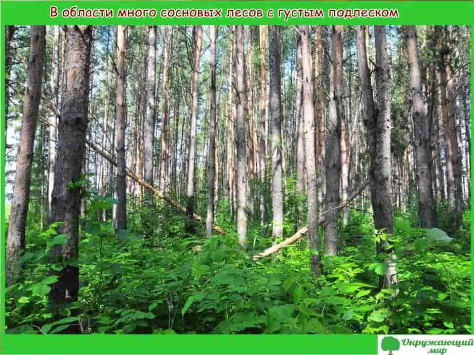 В Свердловской области много сосновых лесов