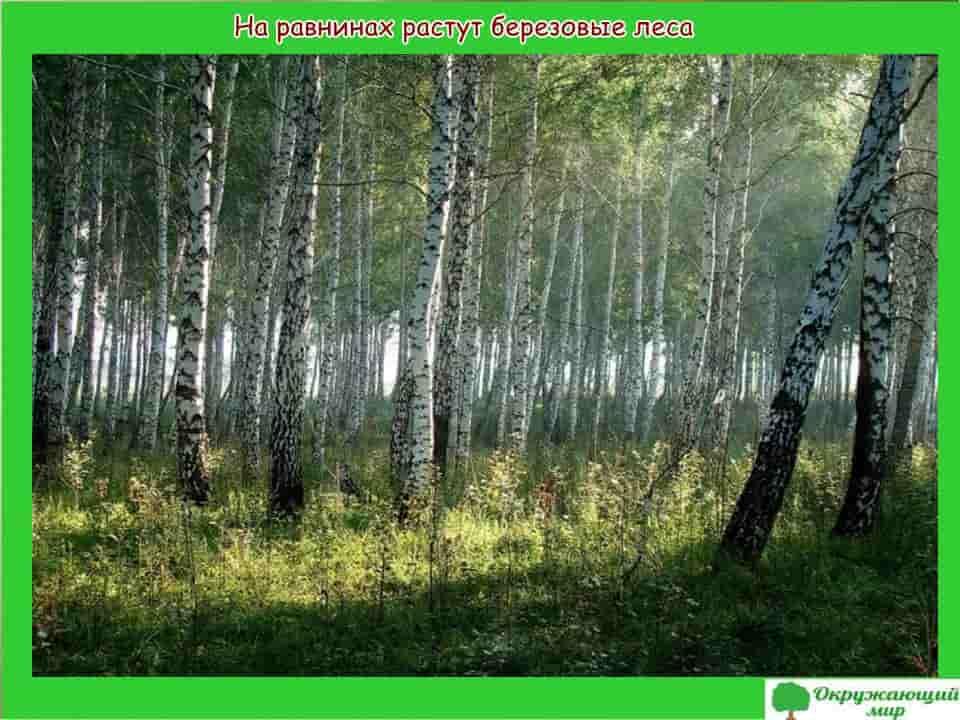 На равнинах растут березовые леса