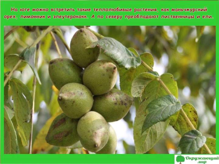 Теплолюбивые растения Амурской области