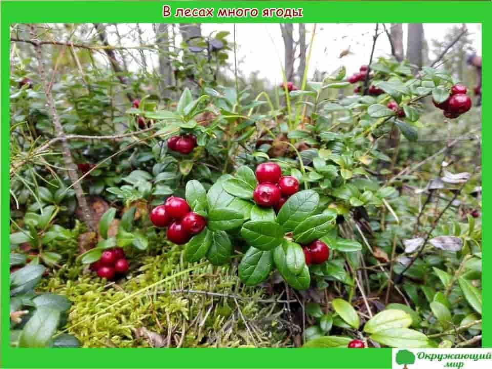 В лесах Санкт-Петербурга много ягоды