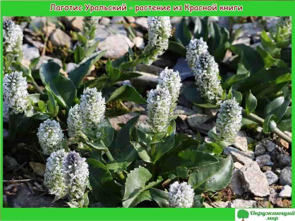 Логотис Уральский растение из Красной книги